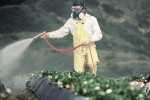 Sick to the Stomach: Pesticides and the Cocktail of Toxicity