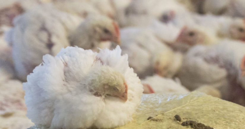 Brexit Mission Creep: Half of UK chickens already produced by US agri-giants